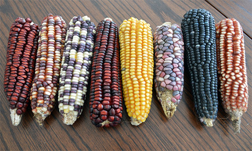 Syncretism corn